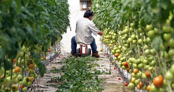 tomato cultivation in india pdf