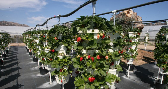 Strawberry Growing Hydroponic Poles Greenhouse Vegetable