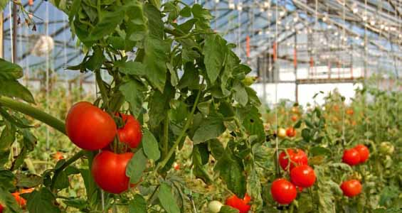 Newstalk650.com; Reported By Trelle Burdeniuk: Greenhouses Could Be The  Newest Addition To Saskatchewan First Nations In The Northern Part Of The  Province.